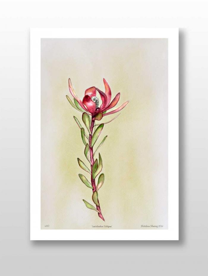 Botanical Illustration 06 - Leucadendron Salignum