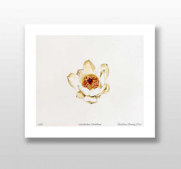 Botanical Illustration 03 – Leucadendron Srtabilinum